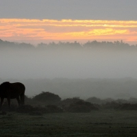 Ponies in the mist on Ober Heath