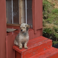 Guard dog at the red house