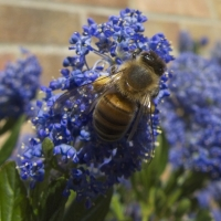 Bee on ceanothus