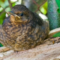 Fledgling Blackbird