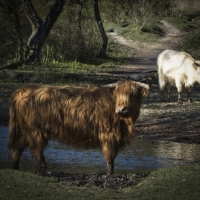 Highland Cattle, Boundway