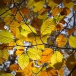 Beech Tree 4