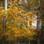 Beech Tree 2