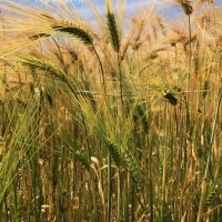 Fields of Barley at Hordle