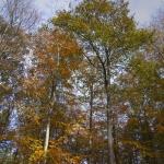Beech Tree 1